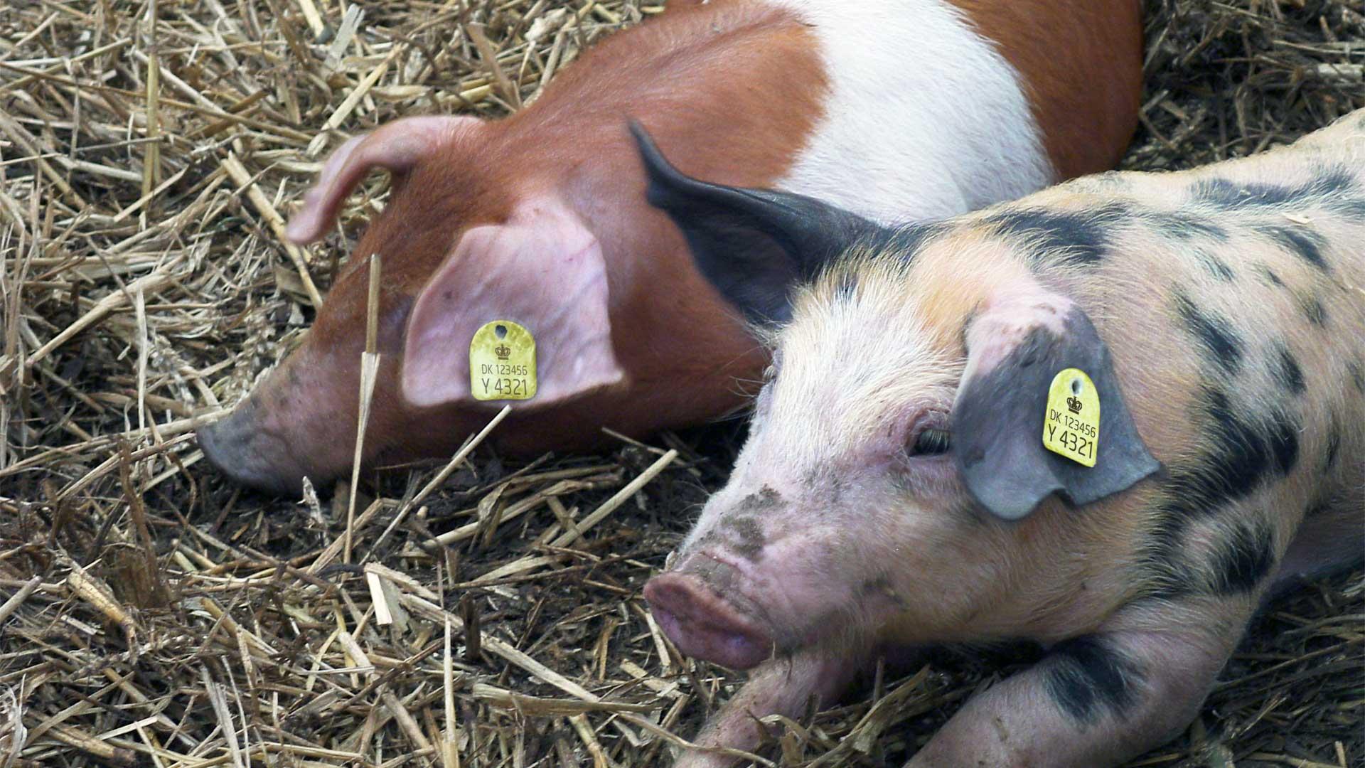Her kan du bestille øremærker til svin. Vi har officielle CHR øremærker til grise.